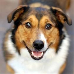 Kenna is an adoptable Welsh Corgi Dog in Des Moines, IA.