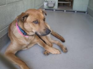 #FLORIDA #URGENT ~ 1017965 TUCKER is an #adoptable Labrador Retriever mix dog in #Brooksville. ** HI-KILL HEART-STICK SHELTER -- 5Omi N of Tampa** Included in the 50.00 #adoption fee are the following services at PetLuv Spay & Neuter Clinic- Spay/Neuter Rabies 4 in 1 vaccine & gen de-worming. 25.OO Refunded after proof of S/N provided to HERNANDO COUNTY ANIMAL SERVICES   19450 Oliver Street, Brooksville FL 34601  P 352 796-5062 mailto:ac@co.hern... mailto:scaskie@co...