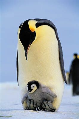 Mommy and baby penguin!.