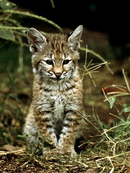 Bobcat Kitten in the Wild