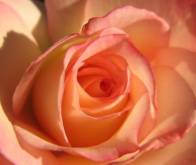 Apricot rose. #roses #flowers #coral #pink #macro