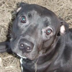 Magic is an adoptable Terrier Dog in Baton Rouge, LA. In need of adoption, foster or rescue!!!! Magic is the sweetest thing ever!!!She literally crawled from her kennel all the way to the area we t...