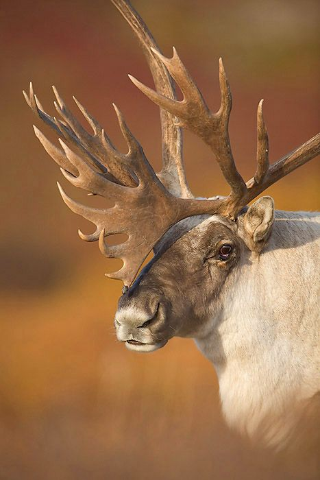 The reindeer (Rangifer tarandus), also known as the caribou in North America, is a deer from the Arctic and Subarctic, including both resident and migratory populations.
