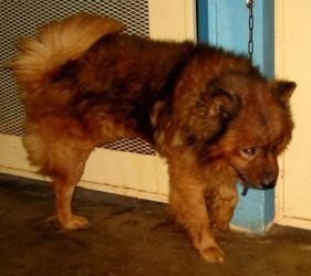 NEEDS A HOME!  Charlie is an adoptable Chow Chow Dog in Jackson, OH. Charlie is a sweet male Chow. He was adopted, given a bath and had his mats removed but wanted to chase his new mom's cat...and the cat was there...