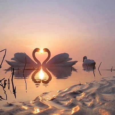 Swan beauty