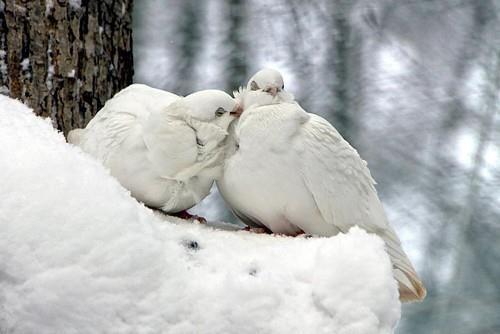 White doves blending in...