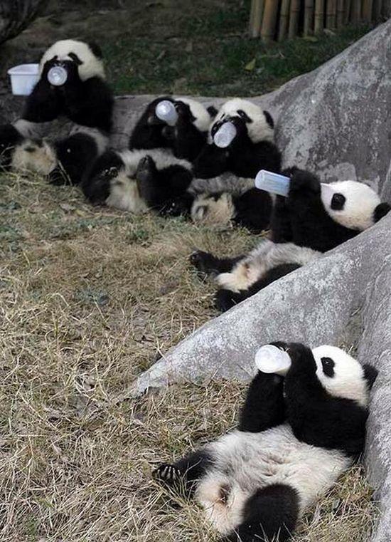 Baby Pandas Drinking Milk, ...