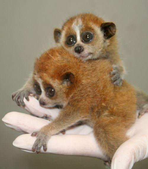 Slow loris babies.  So adorable!