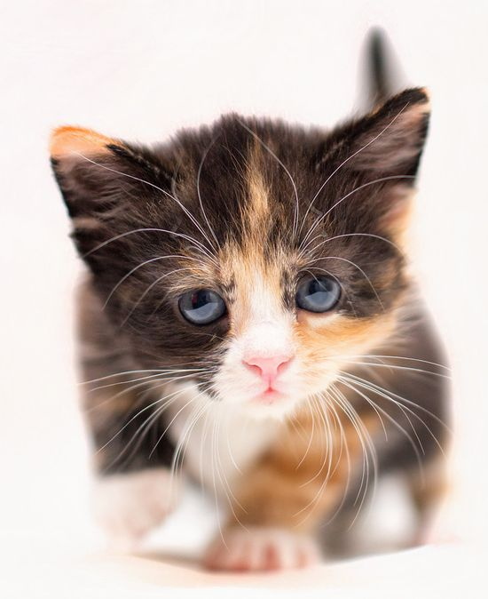 beautiful and cute baby cat This is the cat I really want