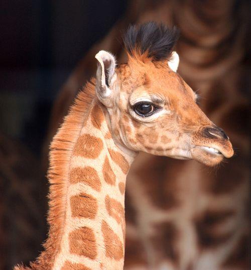 """Baby Giraffe """"Ruby"""""""
