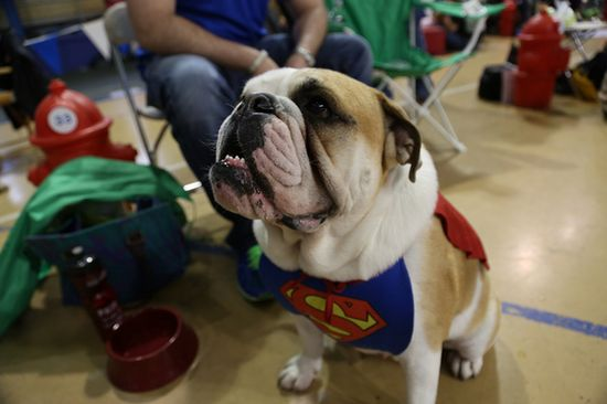 ...also the Dog of Steel ~ Super Bully !!