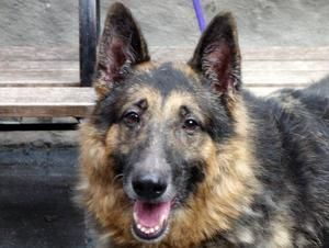PANCHO is an adoptable German Shepherd Dog Dog in New York, NY.  ...