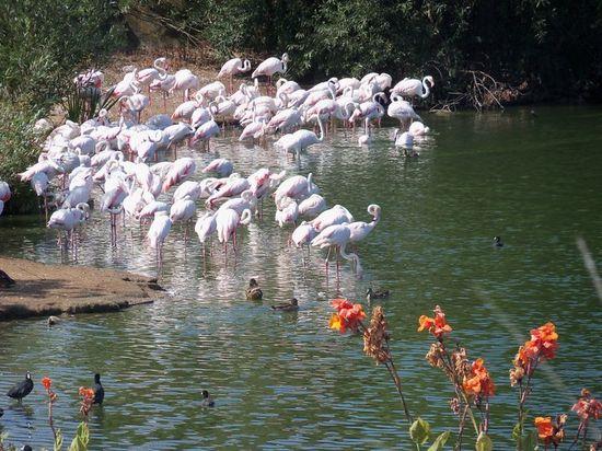 Flamingo, San Diego Wild Animal Park