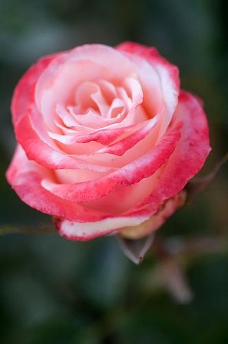 li'l rose