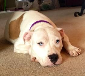 Noelle is an adoptable Pit Bull Terrier Dog in Charlotte, NC. Noelle is around 1-2 and a wonderful, sweet girl. She loves dogs, cats and children. She is house and crate trained. Noelle loves to be cu...
