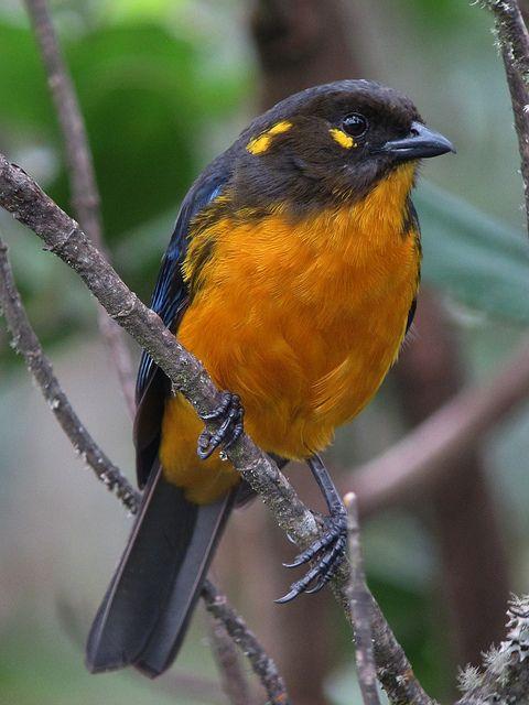 Anisognathus lacrymosus / Tangara lacrimosa / Lachrymose Mountain-Tanager