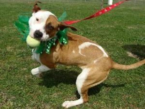 Adopt Pepin, an American Staffordshire Terrier in #Chattanooga >> #stpatricksday