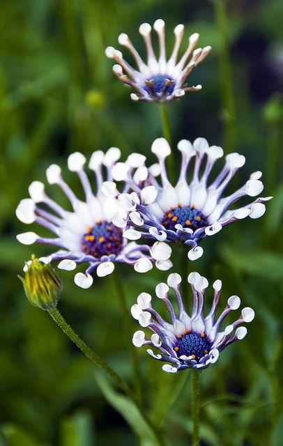 Whirligig daisies, Butchart Gardens, Victoria, British Columbia, Canada