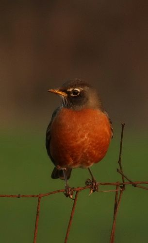 Robin-favorite!