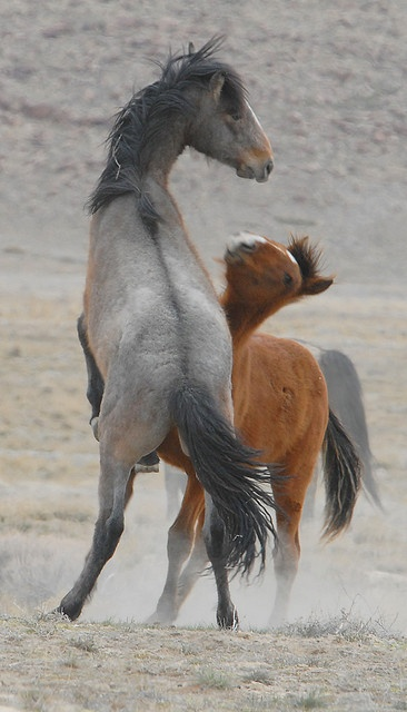 Onaqui Wild Horse