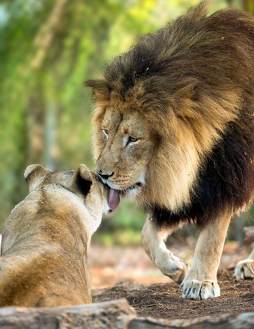 Lion kisses