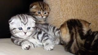 Playful Scottish Fold #Kittens - #funny #cute #cats