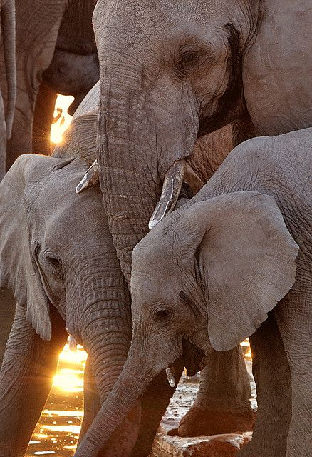 Three Elephants, Etosha National Park, Namibia