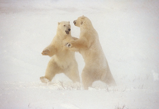 Polar bears dancing!!  :)
