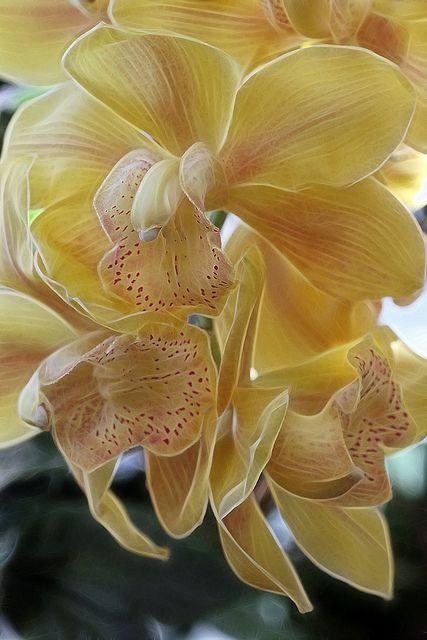 ? Cymbidium Orchids