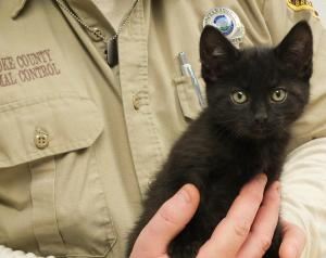#WVIRGINIA #URGENT ~ JAZZY is an adoptable Domestic Medium Hair-Black Cat #kitten in #Beechbottom. Ready for an overdose of cuteness ? Meet Jazzy ,  a  super sweet kitten just ready to love you !        Please call the BROOKE COUNTY ANIMAL SHELTER { a convenient 40-45min from Pittsburgh PA} at Ph 304-394-0800  & ask for Donna DeJaro , the shelter director, for more information on JAZZY  .  We Thank You for taking an interest in our shelter animals , and hope you visit with us very soon.