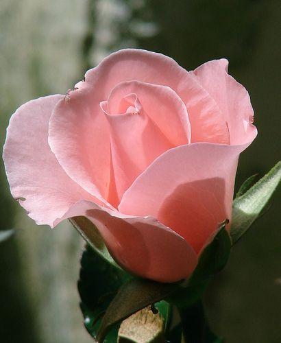 Pretty pink.  Rose