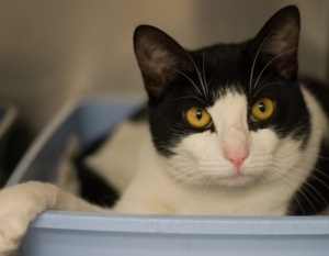 """Socks in a Box- adopted 5/2012! Med/Adult/M. A young man at 2 yrs old, I was surrendered when owner developed allergies. I found shelter life a rude awakening. While I find """"The Life"""" less frightening and can now be found in the front of my cage, not in the back, I can still be a little shy. However, if you pet me, I will purr and rub my face against you. Oddly enough, the gesture I enjoy the most from humans is having them bury their face in my fur while talking softly to me."""