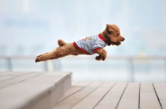 LOOK, it's a bird, no its a plane, nope it's Superdog ...  #pet #dog #dogs #animal #pinterest #love @Mad4Clips #funny
