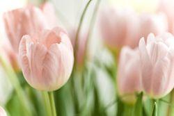 tulips ^_^