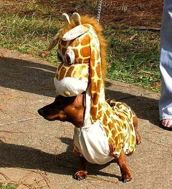 Weiner dogs look great in everything.