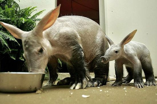 aardvark mummy and baby