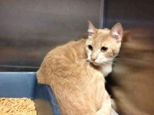 GEORGE is an adoptable Domestic Short Hair Cat in Alameda, CA.  ...