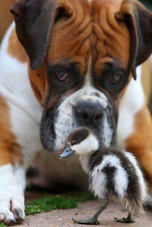 A duckling abandoned and close to death found an unlikely guardian and friend namely a boxer called Romeo.