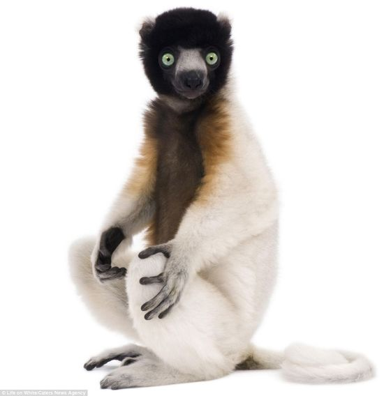 Lemur by Eric Isselee who with his team travel the world  capturing astounding studio images of  animals for a massive project 'Life On White'to create the largest collection by a single photographer, of animals photographed in front and on a white background. via dailymail.co.uk www.lifeonwhite.c... #Lemur #Photography #Eric_Isselee #Life_On_White #dailymail