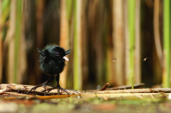 baby crake bird!