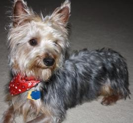 """#TEXAS ~ Ziggy is an #adoptable Yorkshire Terrier Yorkie Dog in #Dallas. Ziggy came from the Plano shelter.  He was adopted and returned because he was too """"playful"""".....he's not too playful.  He loves to be held, he loves attention and he loves to play with young dogs!!!  He's about 9 months old and weighs about 15 lbs.  He is too cute!  I don't know if he is a mix or not but he looks mostly like a Yorkie.  LOVES to be with his people & playing. #Adopt him thru Cody's Friends Ph  214-693-3100"""