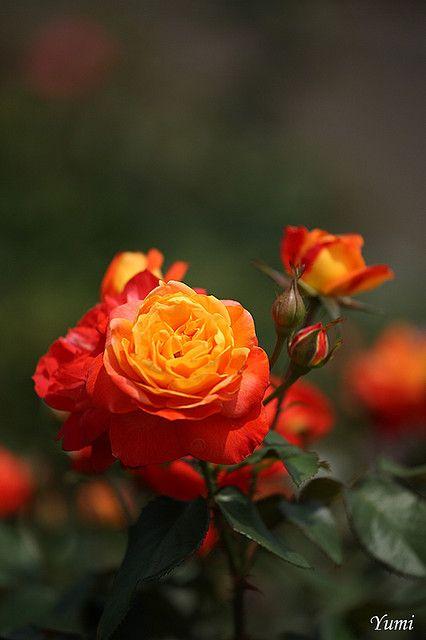 Beautiful 2 Color Roses