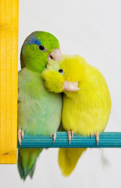 male green parrotlet with a female american yellow parrotlet