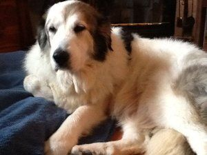Snowflake is an adoptable Great Pyrenees Dog in Powell, OH. Snowflake has been here just over 24 hours and is already doing fine with my dog and cats. She appears to be house broken. Snowflake is estimated to be 8 years old.  She is a big girl naturally but does still need to lose weight.  She follows me everywhere unless she is asleep...