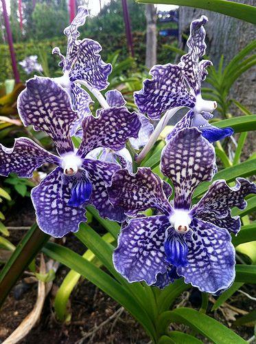 ? Blue Vanda Orchids - Singapore