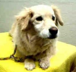 A4075796 - URGENT AT THE LANCASTER SHELTER is an adoptable Spaniel Dog in Lancaster, CA. **WE NEED DEDICATED VOLUNTEERS TO POST & REMOVE PETS ON PETFINDER. IF YOU CAN COMMIT TO THE CAUSE OF HELPING SA...