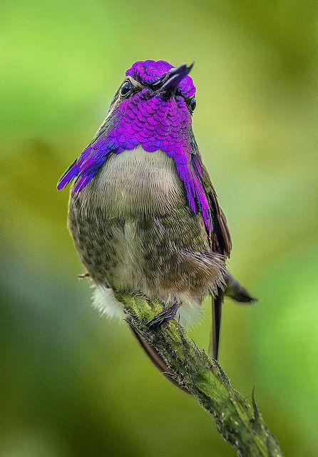 Male Costas Hummingbird.. such a beautiful bird!!