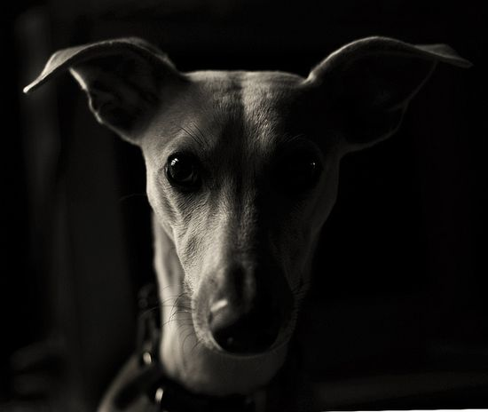 italian greyhound or whippet
