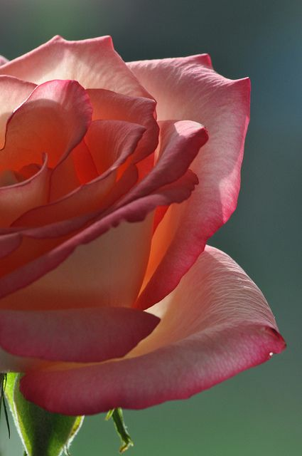 Rose Close-Up - Stunning !