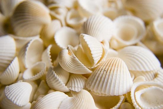 all white seashells